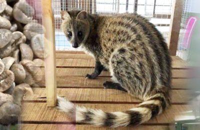 ชะมด Civet